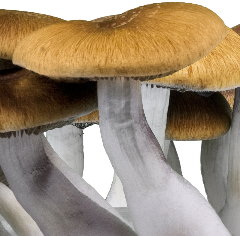 Psilocybe cubensis Golden Teacher - Innervisions