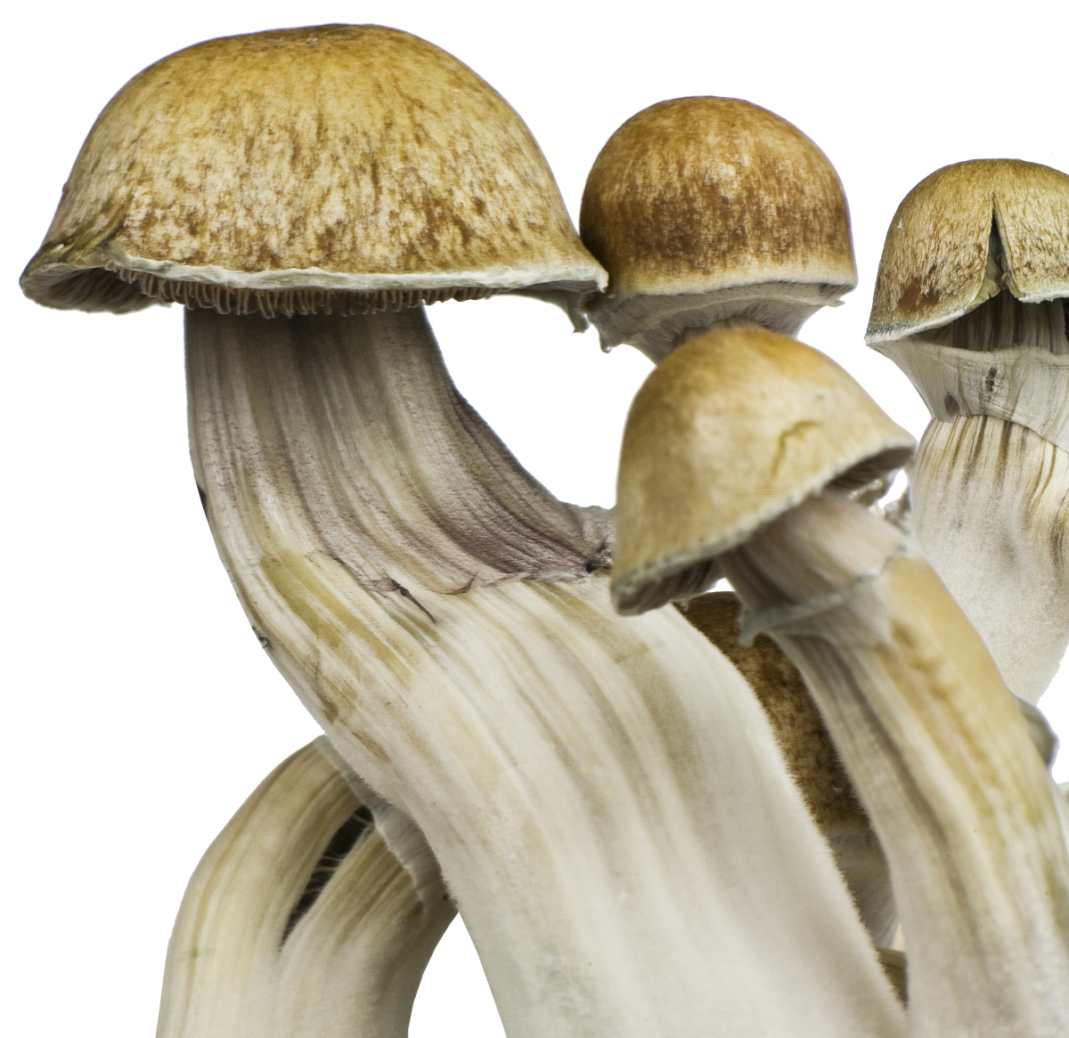 Psilocybe cubensis Hawaii - Innervisions